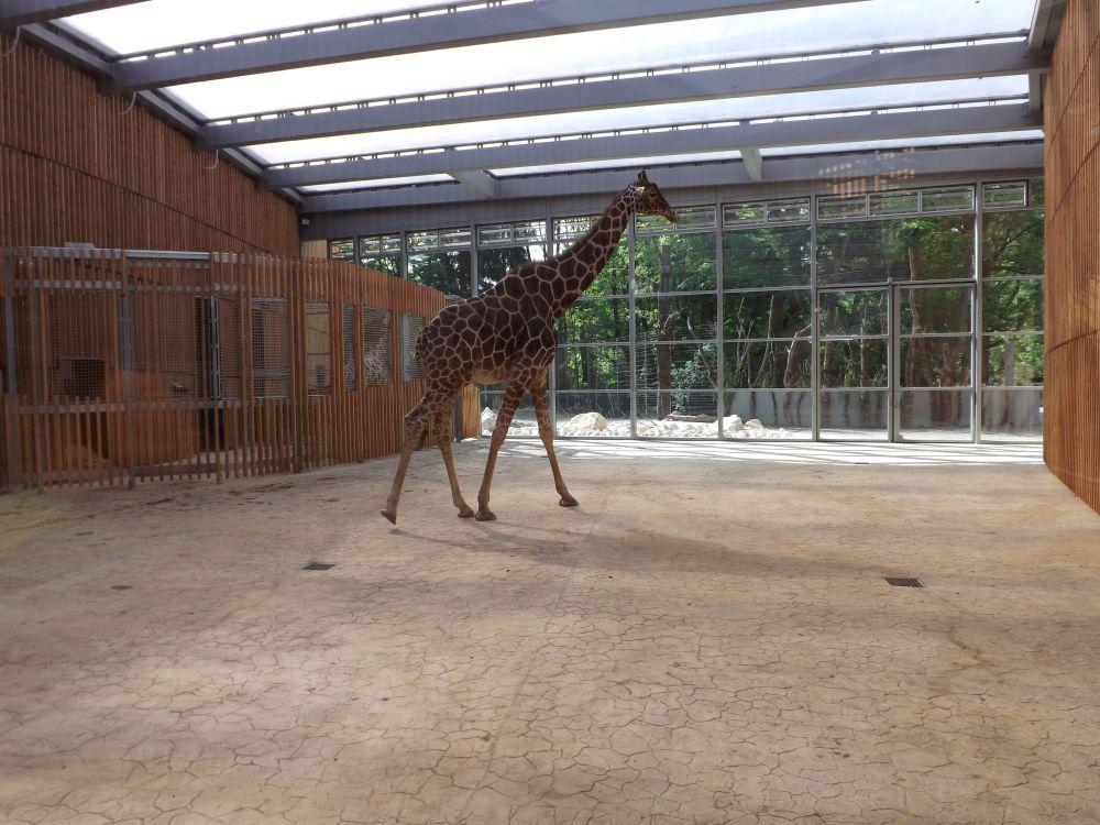 Innenansicht Giraffenhaus (Tierpark Hellabrunn)