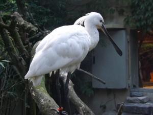 Löffler (Zoo Augsburg)