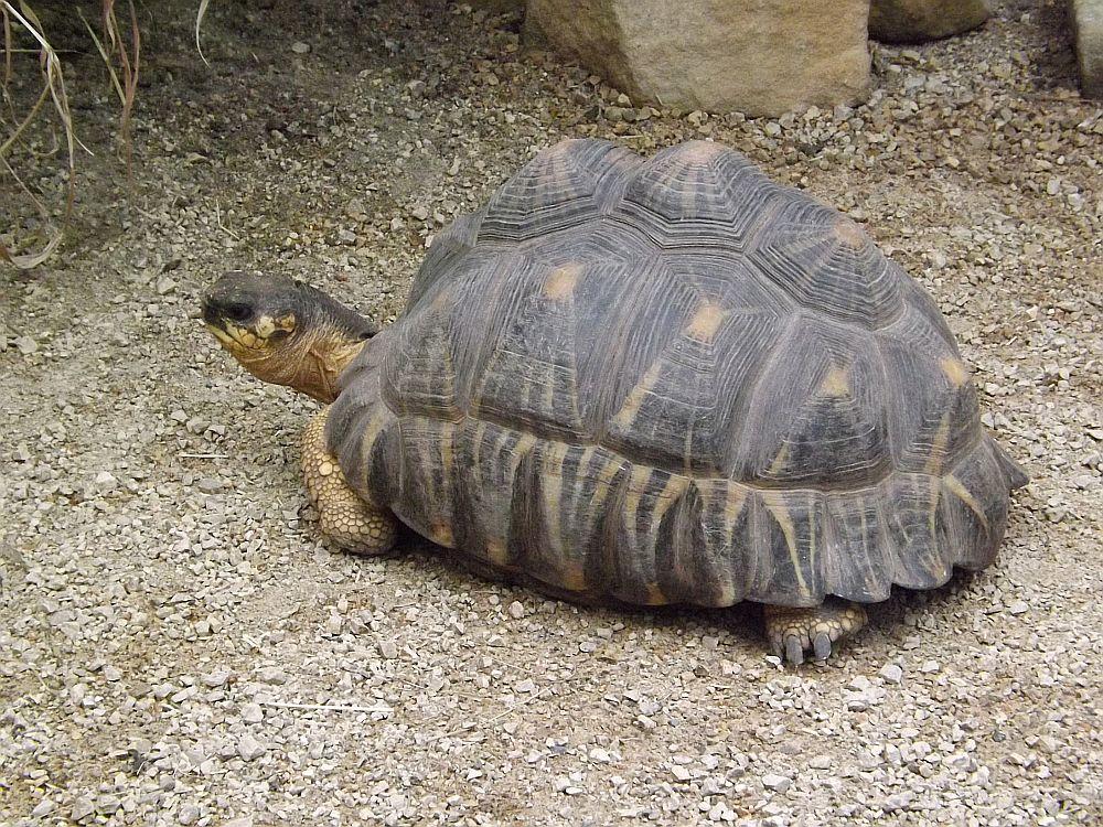 Strahlenschildkröte (Zoo Leipzig)