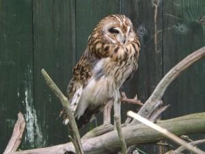 Sumpfohreule (Zoo Ohrada)