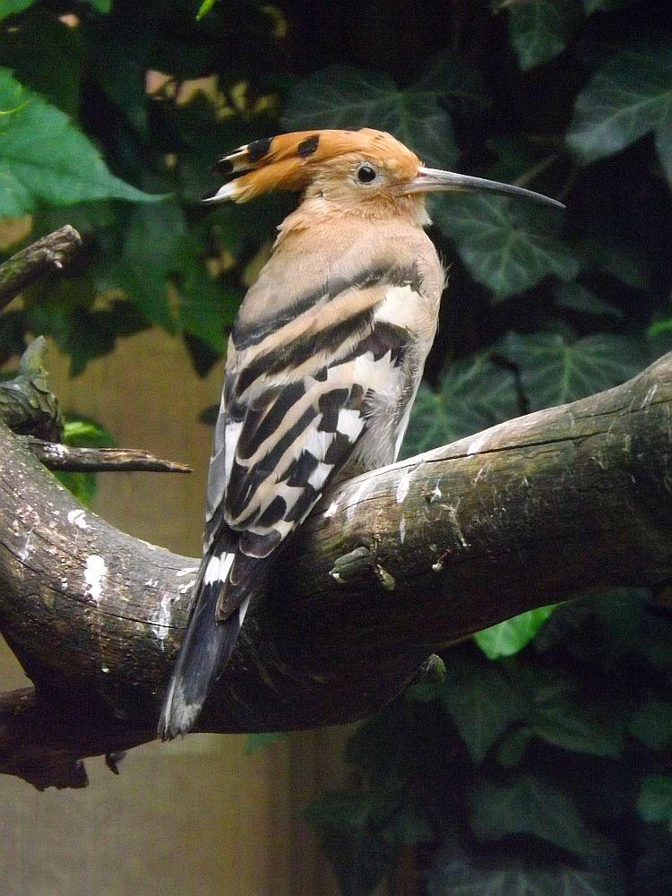 Wiedehopf (Vogelpark Olching)
