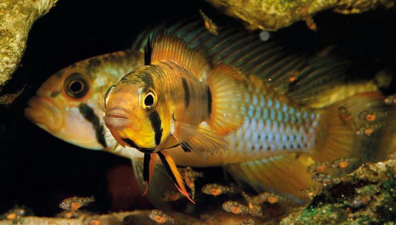 Apistogramma wolli sp. n. im Aquarium fotographiert (© Römer et al. 2015). Im Vordergrund ist das Weibchen zu sehen, welches eine Gruppe des Nachwuchses führt. Im Hintergrund der Bruthöhle steht das deutlich größere Männchen. Beide zeigen entsprechend Stimmung und Rang hier eine dominante Färbung.