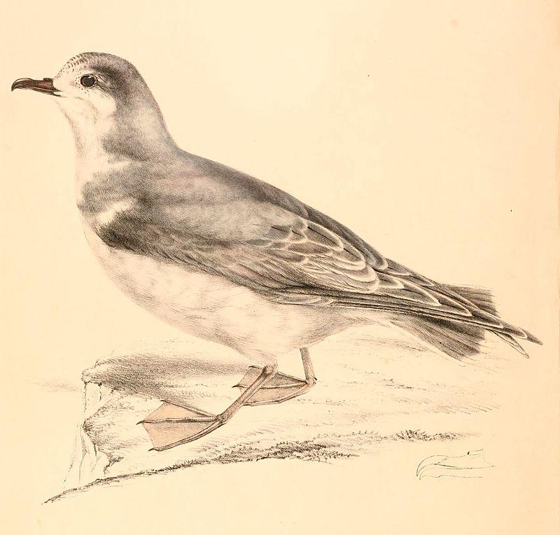 Großer Entensturmvogel (Andrew Smith )
