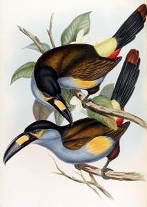 Leistenschnabeltukan (John Gould)