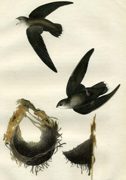 Schornsteinsegler (John James Audubon)