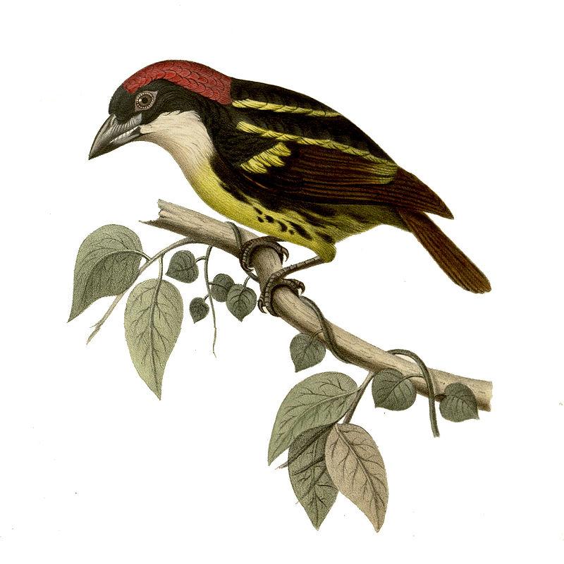 Fünffarben-Bartvogel (J. Hüet)