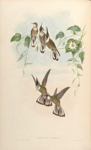 Grünbart-Helmkolibri (John Gould)