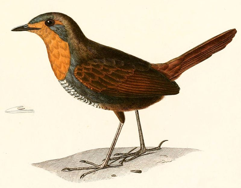 Rotkehltapaculo ( Alcide Dessalines d'Orbigny)