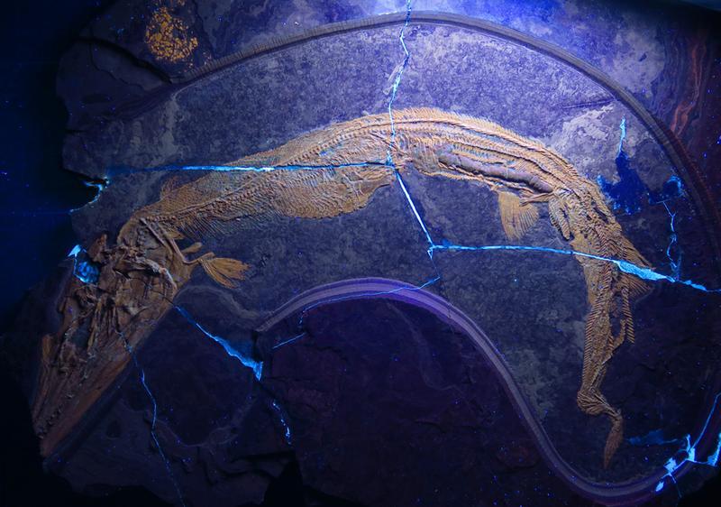 Saurichthys: Sein letztes Mahl spiegelt den spiralförmigen Darm (UZH)