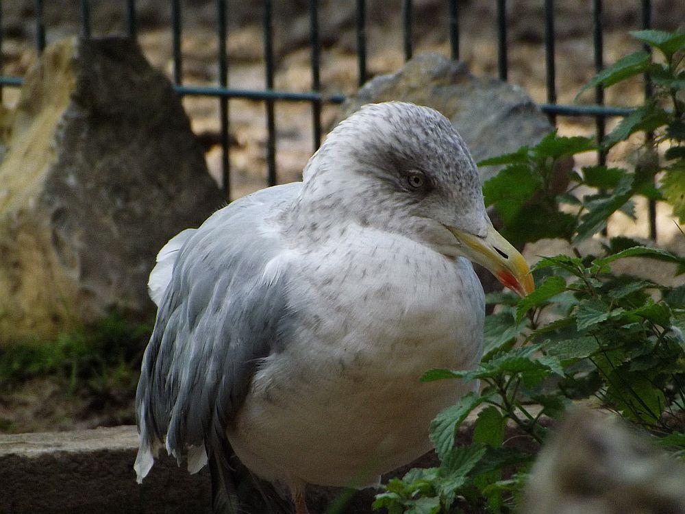 Silbermöwe (Tierpark Bad Pyrmont)