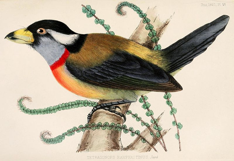 Tukan-Bartvogel (Catherine Dorcas Maule Jardine)