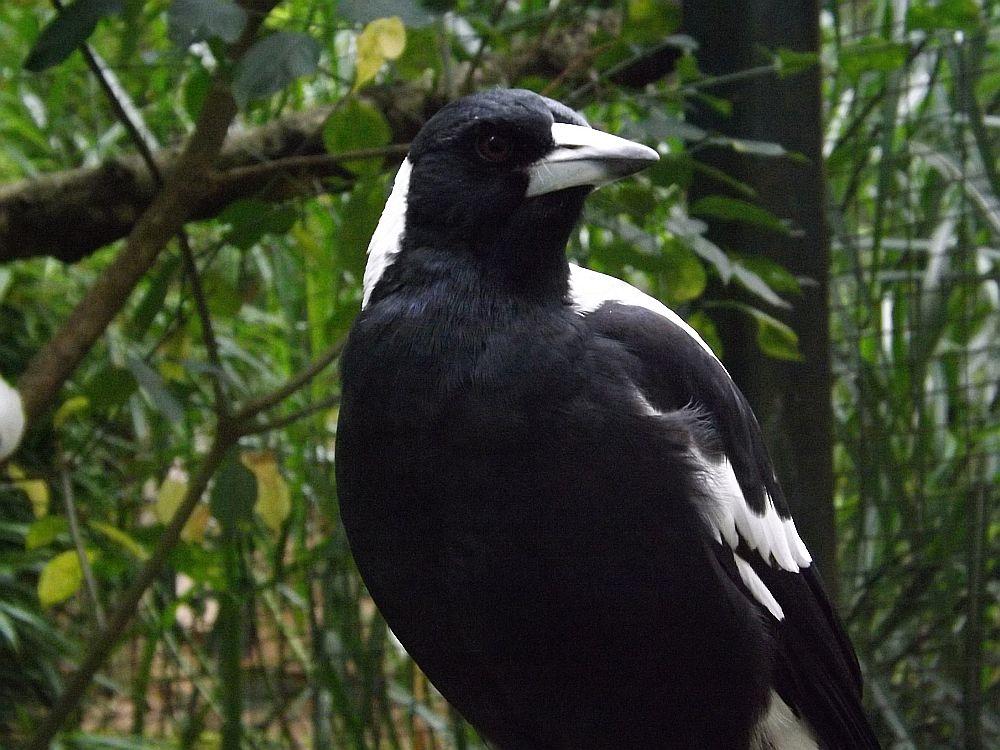 Weißrücken-Flötenvogel (Zoo Neunkirchen)