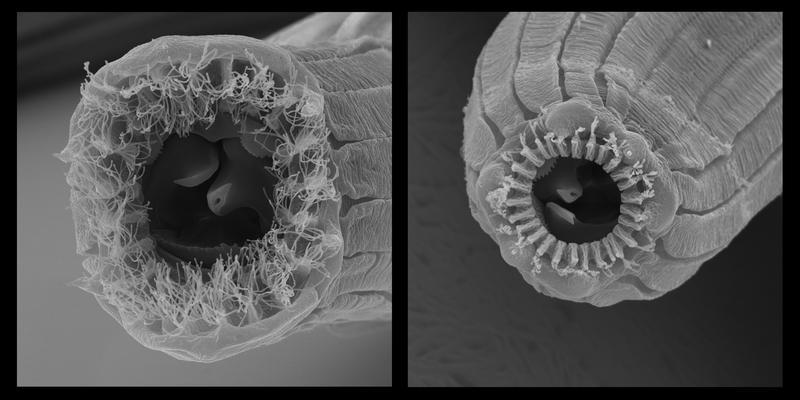 Zwei von fünf verschiedenen Mundformen, sogenannte Morphen, des Fadenwurms Pristionchus borbonicus. Das bart-artige Aussehen um die Lippen herum war bisher völlig unbekannt. (Jürgen Berger & Vladislav Susoy / Max-Planck-Institut für Entwicklungsbiologie)