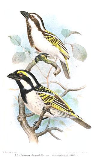 Oben ein Schwarzkopf-Bartvogel, unten ein Rotstirn-Bartvogel (Joseph Smit)