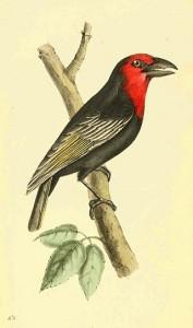 Purpurmasken-Bartvogel (William Swainson, F.R.S., F.L.S.)
