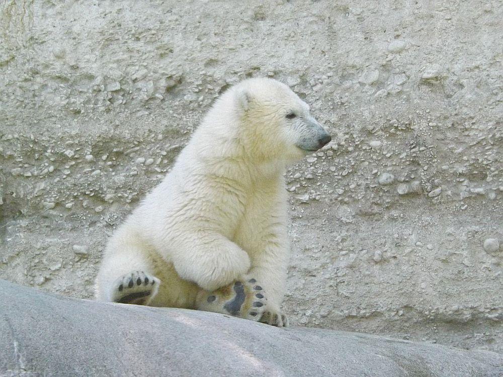 Eisbär, *09.12.2013 (Tierpark Hellabrunn)