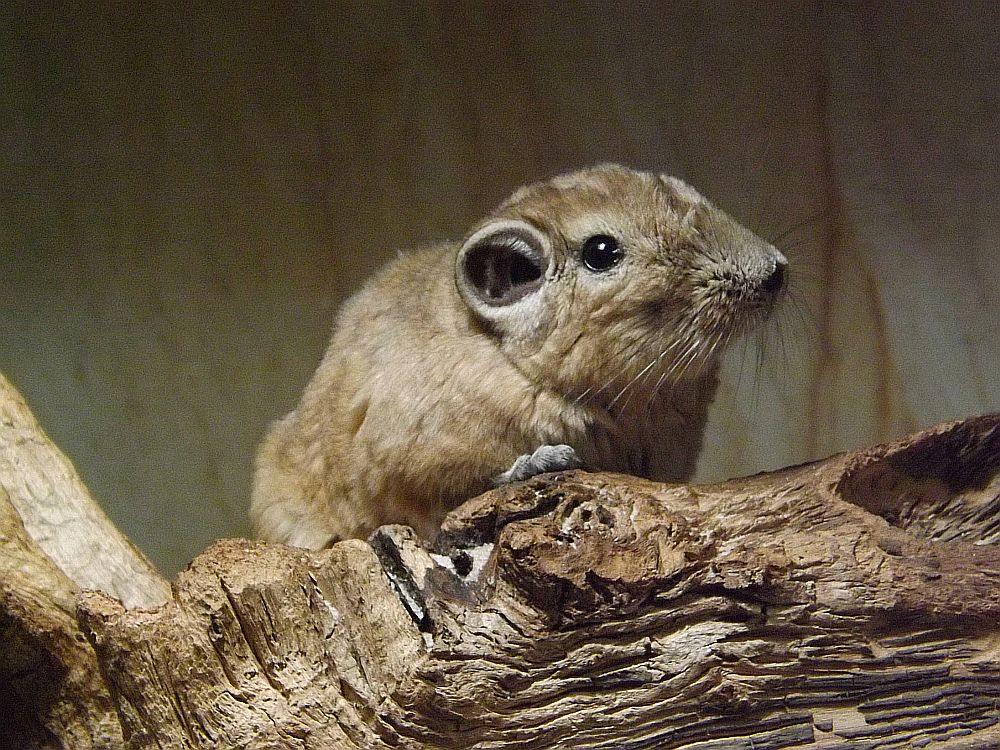 Gundi (Zoo Neunkirchen)