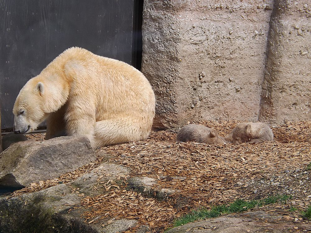 Eisbär (Tierpark Hellabrunn)