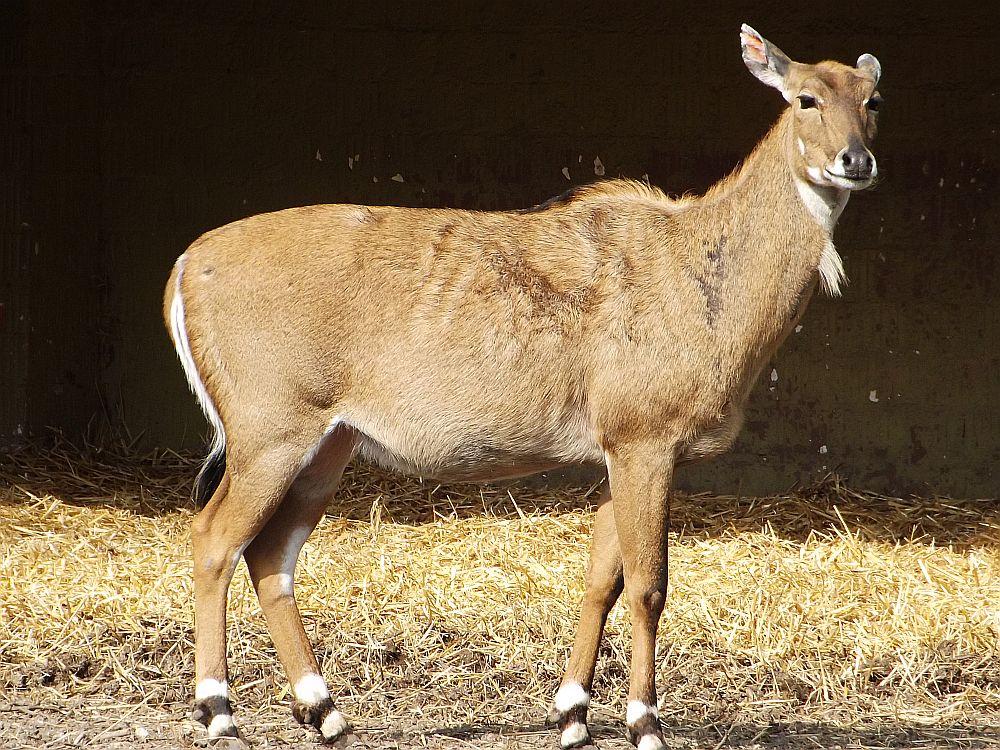 Nilgauantilope (Zoo Augsburg)