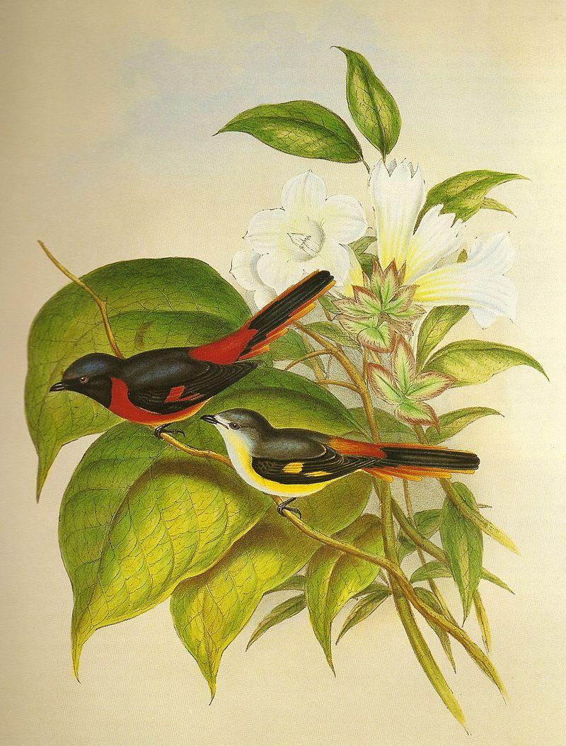 Zwergmenningvogel (John Gould)