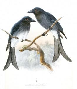 Graubrustdrongo (John Gerrard Keulemans)