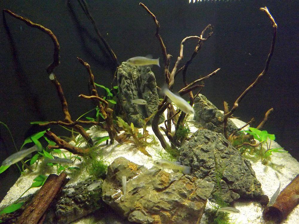 Aquarium für Orientkärpflinge (Sea Life München)