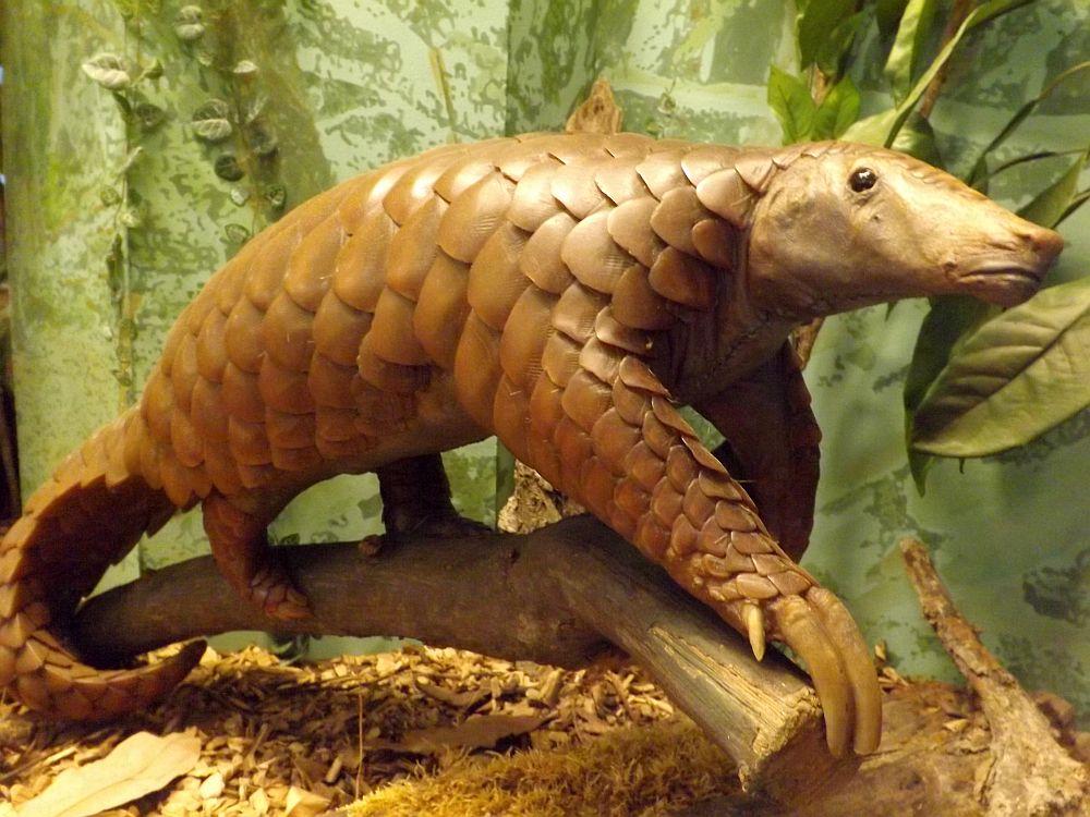 Vorderindisches Schuppentier (Naturhistorisches Museum Wien)