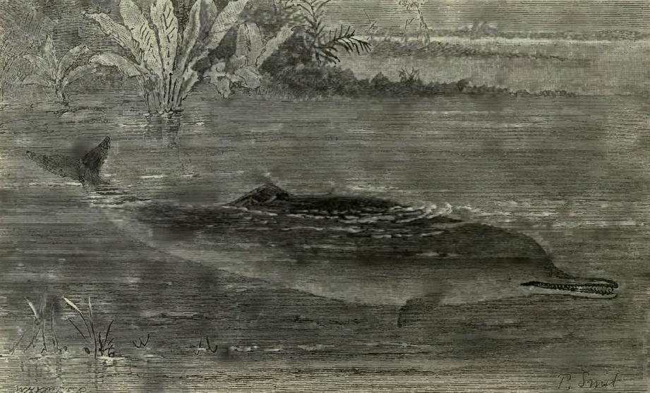 Gangesdelfin
