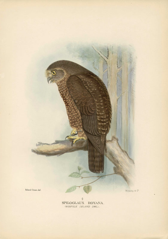 Norfolkinsel-Kuckuckskauz (Henrik Grönvold )