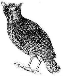 Scops commersoni (heute ein Synonym von Mascarenotus sauzieri) illustriert von Paul Philippe Sanguin de Jossigny im Jahr 1770