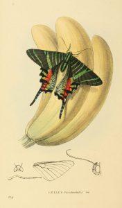 Urania sloanus (William Swainson)