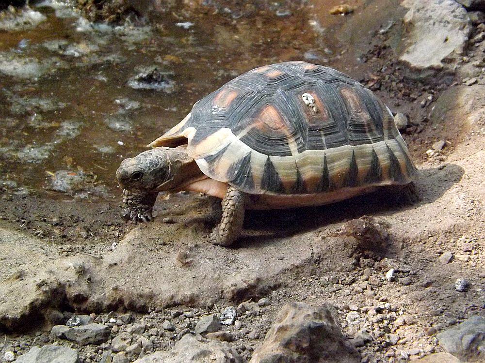 Afrikanische Schnabelbrustschildkröte (Tiergarten Schönbrunn)