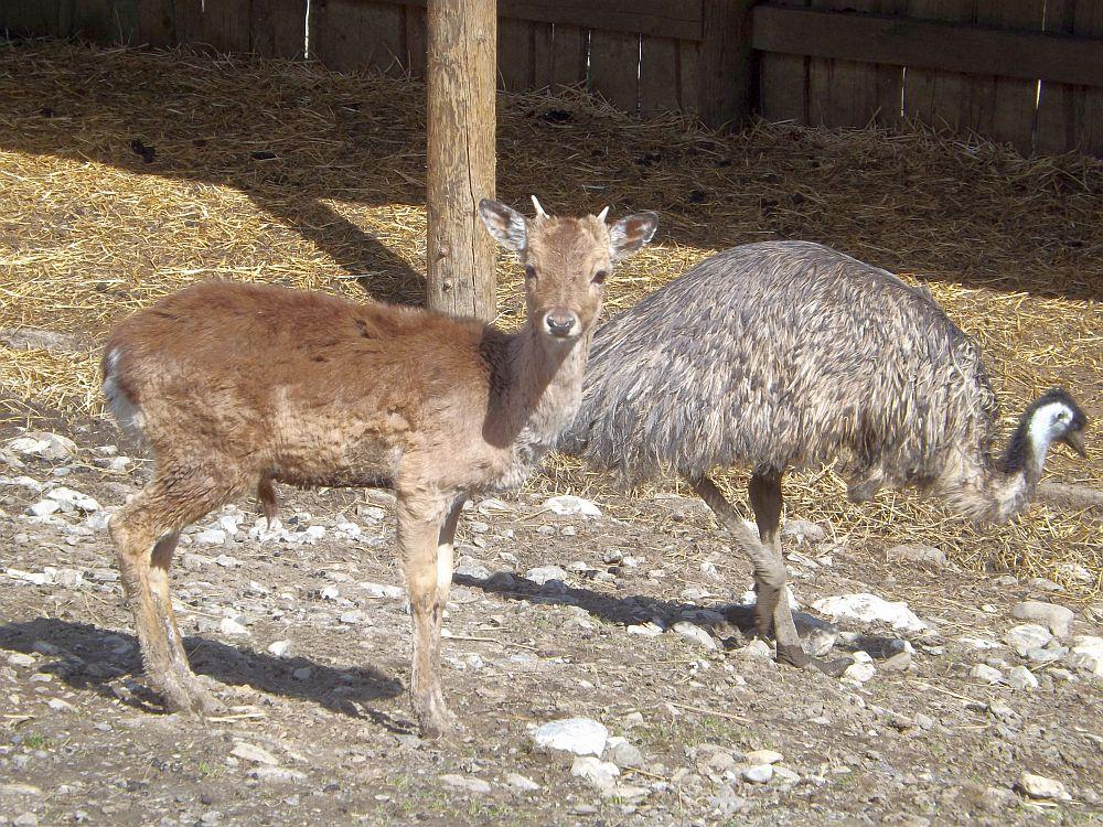 Damhirsch und Emu (Alpenwildpark Obermaiselstein)