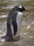 Eselspinguin (Zoo Wuppertal)