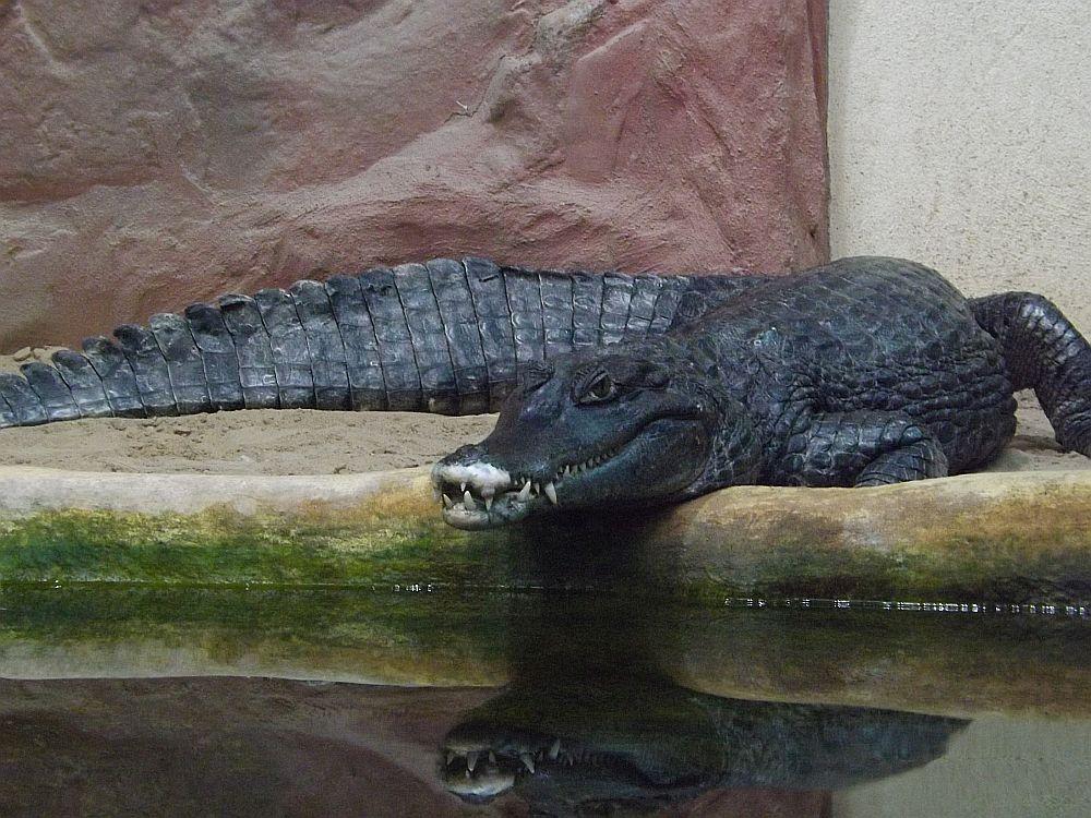 Krokodilkaiman (Zoo Neuwied)