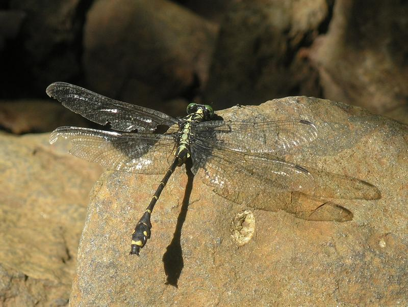 Asiagomphus reinhardti (Oleg Kosterin)