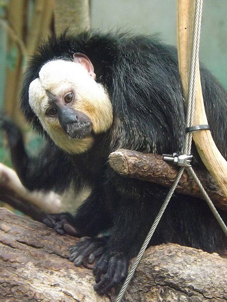 Weißkopfsaki, Männchen (Zoo Zürich)