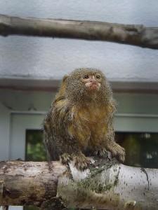 Zwergseidenäffchen (Zoo der Minis)