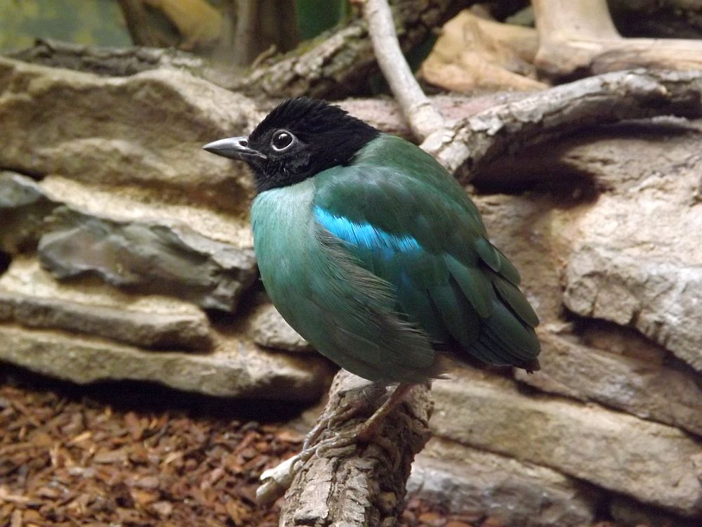 Kappenpitta (Zoo Wuppertal)
