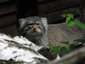 Manul (Zoo Ostrava)