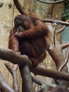 Borneo.Orang-Utan (Zoo Krefeld)