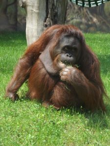 Borneo.Orang-Utan (Zoo Dvur Kralove)