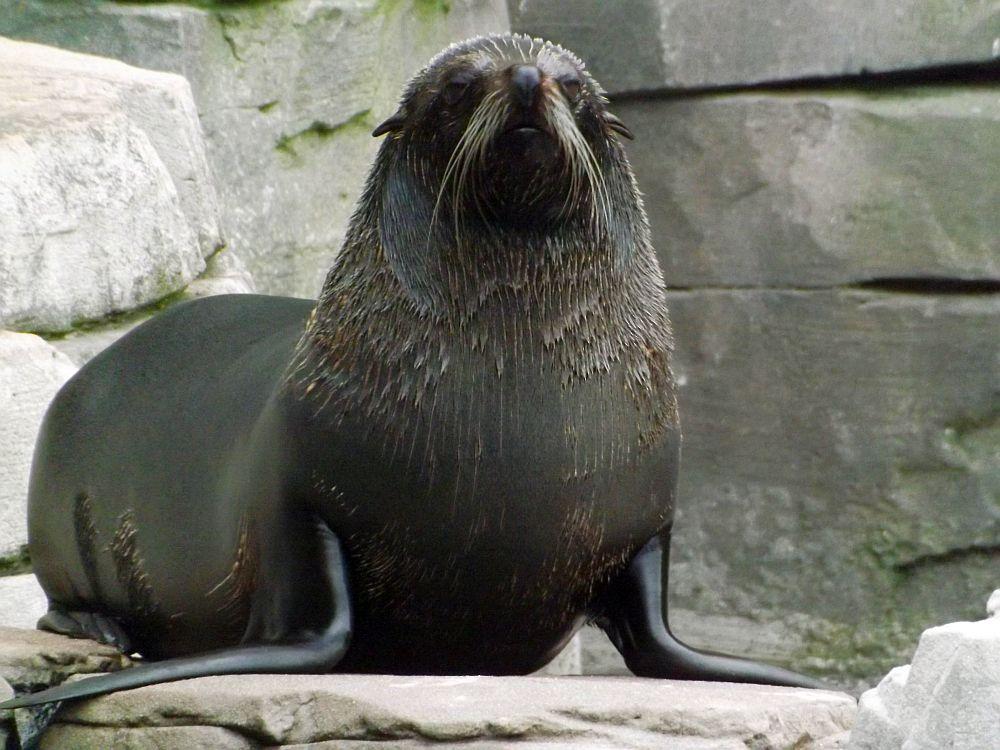 Südamerikanischer Seebär (Tierpark Hagenbeck)