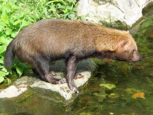 Waldhund (Wilhelma Stuttgart)