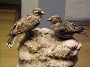 Steinsperling (Naturkundemuseum Erfurt)