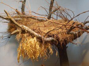 Nest der Siedelweber (Zoo Frankfurt)