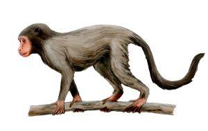 Aegyptopithecus zeuxis (© N. Tamura)