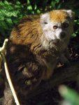 Alaotra-Bambusmaki (Zooparc Overloon)