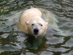 Eisbär (Erlebniszoo Hannover)