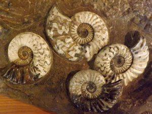 Asteroceras stellara (Naturkundemuseum Wien)